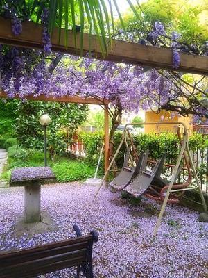 藤の花びらの絨毯 (Glicine) - エミリアからの便り