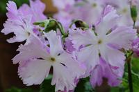 開花時期だけ特別に公開されるサクラソウ(小石川植物園) - 旅プラスの日記