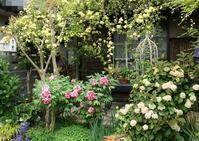 牡丹と薔薇雨をもらった庭は生き生きと - miyorinの秘密のお庭
