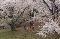 名残の桜と - 風の彩り-2