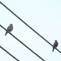 イソヒヨドリ♂♀ - TACOSの野鳥日記