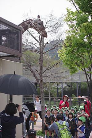 年中組遠足ー京都市動物園 2019年度ー。 - 陽だまりの小窓 - 菊の花幼稚園保育のようす