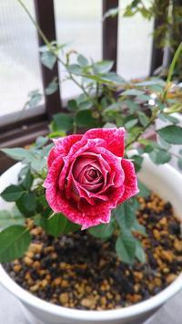 芳香のミニバラたち - 箱庭の小さな薔薇の記録
