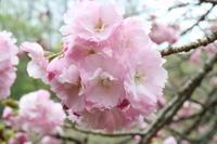 八重桜も枝垂れ桃も咲きましたよ~♪ - みい写日記☆