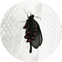 ジャコウアゲハ#2 羽化 - マリカの野草画帖