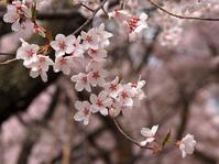 天下第一の桜・日本三大桜名所・信州たかとおを鑑賞(2)・・・麗しの高遠コヒガンザクラ♪ - 『私のデジタル写真眼』