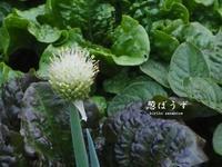 葱の花 - HAIKU/summer PHOTO