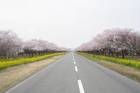 鳥目線で桜並木を眺めてみよう - ひとり野鳥の会