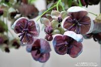 アケビの花をじっと見つめて!(^^)! - 自然のキャンバス