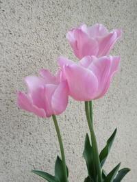 チューリップ下手のチューリップコレクション - bowerbird garden ~私はニワシドリ~