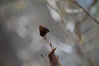 29コツバメ「蝶図鑑」 - 超蝶
