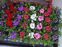 バーベナ - フラワーショップデリカの花日記