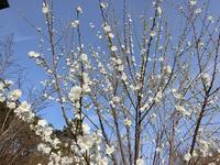 花桃とユスラウメ - 風路のこぶちさわ日記