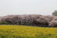 幸手市権現堂桜堤☆満開の桜と菜の花♪4月7日の春の日 - Let's Enjoy Everyday!