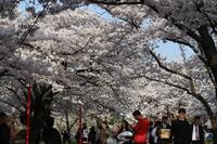 盛岡の桜もピークかな?(4/23) - ひとりごと・・・