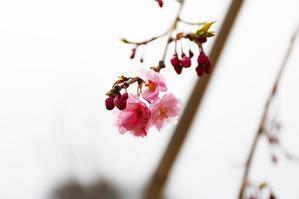 2019 4月 SAKURA 20 - 【日直田酒】 - 西田酒造店blog -