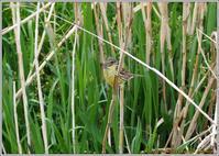 葦原のアオジ - 野鳥の素顔 <野鳥と日々の出来事>