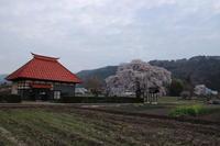 桜だより(30) 沼田市) 天照寺のしだれ桜 (2019/4/21撮影) - toshiさんのお気楽ブログ