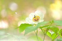 山芍薬 - お花びより