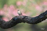 春の光に包まれて * 鳥天使オジロビタキ♪ - 虹の架け橋  ~天使*精霊たちとともに~