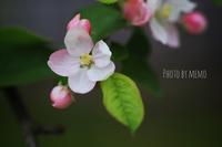 りんごの花 - ふわふわ天使