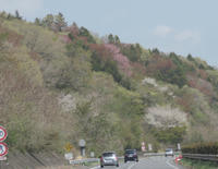 今春の桜    三春滝桜 - ちゃたろうな日々