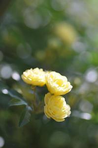 4/23モッコウバラがスタート - 「あなたに似た花。」
