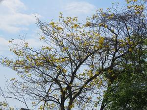 イペー(キバナノウゼン)の花など。 - リンドウの徒然日記Ⅱ