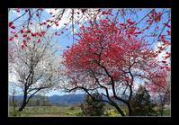 畑の中の花桃 - Desire
