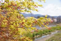 紅葉の花、八重桜、菜の花とカモ、リアルツムツム(ジュウシマツ)、ナナカマドの新芽【追記】 - DOUBLE RAINBOW