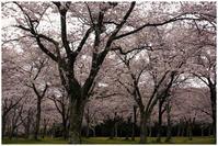 2019年今日の1枚地元の風景 桜 - カメラ好き、写真好き