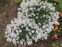 白い花 - わたしの好きな物