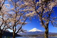 31年4月の富士(26)河口湖の桜と富士 - 富士への散歩道 ~撮影記~