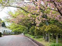 八重の桜、散る - - 光景彡z工房 - ◇ SeasonII ◇