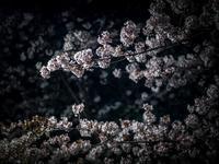 ラスト桜 - - 光景彡z工房 - ◇ SeasonII ◇