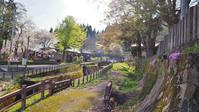 散り始めた千手院の桜 - 浦佐地域づくり協議会のブログ