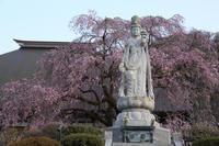 宝積寺枝垂桜の夕 - 風の彩り-2
