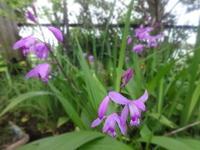 紫蘭 - だんご虫の花