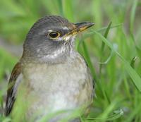 シロハラ、ヒヨドリ - zorbaの野鳥写真と日記
