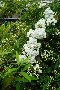 我が家の花コデマリ咲きだす - 風の便り