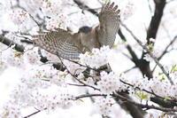 ツミ桜の中で巣材探し - 気まぐれ野鳥写真
