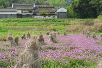 山田のレンゲ畑 - まほろば 写真俳句