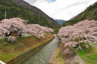 サクラの花が満開になってます!! - 乗鞍高原カフェ&バー スプリングバンクの日記②