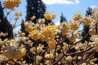 ミツバ岳のミツマタ(良)4月3日撮影 - 野山の花たち