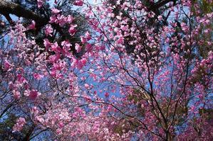 アカヤシオ満開!花の密度に咽る♪・・・赤城自然園 - 『私のデジタル写真眼』