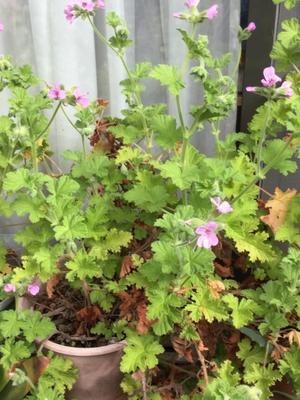 エプロンと庭の花達 -