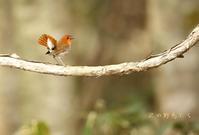 コマドリ - 北の野鳥たち