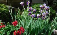 庭の花を撮る - 古稀からの日々
