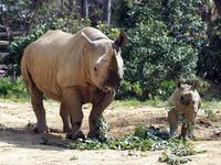 クロサイの赤ちゃん - 動物園放浪記