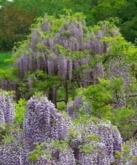 蓮華寺池公園の藤の花。 - 蓮華寺池の隣5